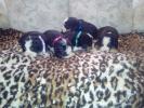 Na prodaju stenci bernskog planinskog psa, dva legla
