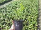 Sadnice borovnice Duke i Bluecrop - promotivna cena