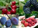 Vocne sadnice - prodaja svih vrsta vocnih sadnica